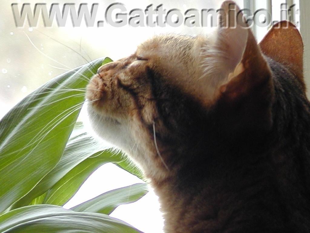 Nepeta erba gatta erbe dei gatti for Erba gatta effetti