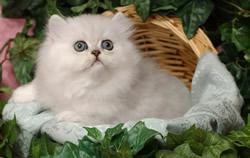 Gatto Persiano Il Gatto A Pelo Lungo