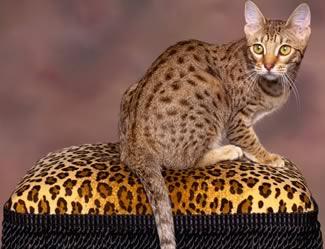 Il Gatto Ocicat Gatti Ocicat Gatto Selvaggio Razza Ocicat Gatto