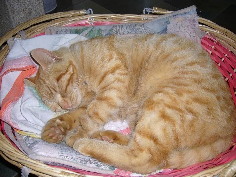 http://www.gattoamico.it/le%20vostre%20foto/foto-amatoriali-gatti/gatto-rosso-che-dorme-800.jpg